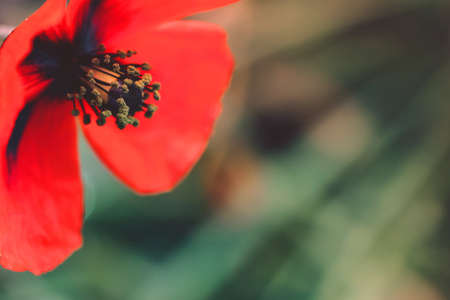 Cropped red poppy flower blossom lighted by the sun on nature background.
