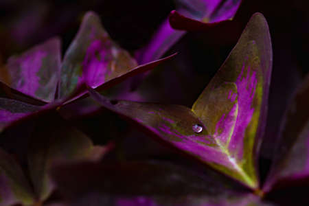 Ultaviolet vivid colored plant in a tropical garden with drop of pure water on the leaf. Cropped shoot. Imagens