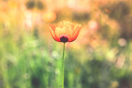 Red poppy flower blossom lighted by the sun on nature background.