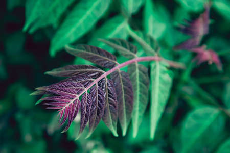 Purple and red vivid colored branch of tree in a tropical green garden. Imagens