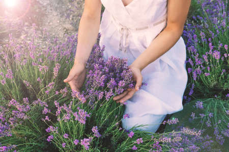 Female hands gently holding lavender bunches in the field. Cropped frame.