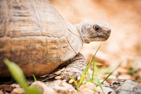 Portrait of big land turtle in nature. Mediterranean fauna.