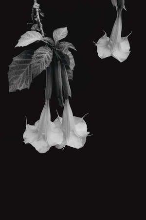 Black and white modern art style photo of datura, Stramonium flower on isolated black.