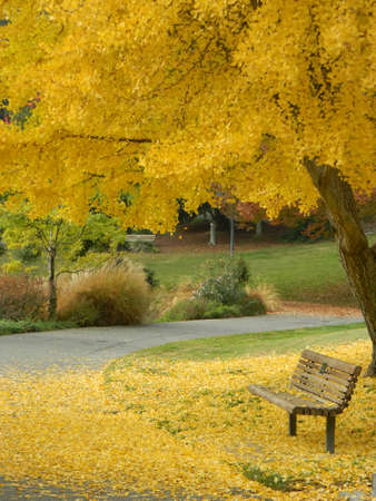 arboretum: Yellow leaves of a Ginko tree covering the ground and bench at a park in California. Stock Photo