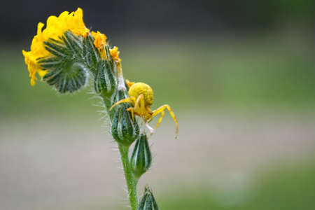 goldenrod crab spider: A yellow crab spider on a yellow flower on green background Stock Photo