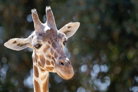 giraffa camelopardalis reticulata: Headshot of giraffe looking away Stock Photo