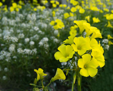 oxalidaceae: Yellow Oxalis flowers in the spring Stock Photo