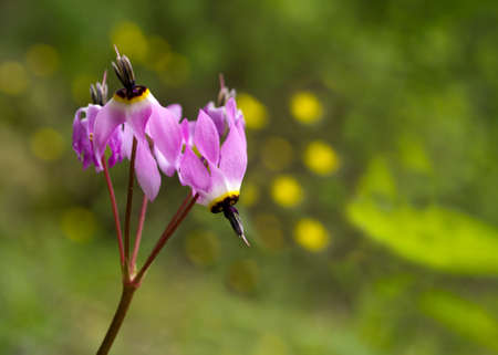 shooting stars: Pink shooting stars in nature in California
