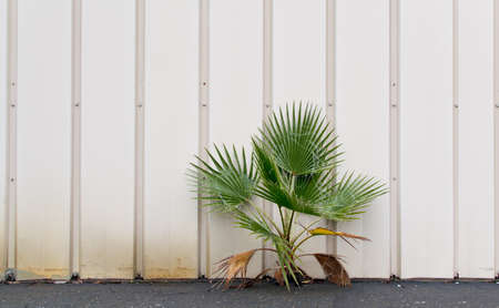 emerging: Palm tree emerging from a crack between steel wall and concrete pavement Stock Photo