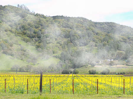 silverado: Napa Valleys mustard field on a foggy morning