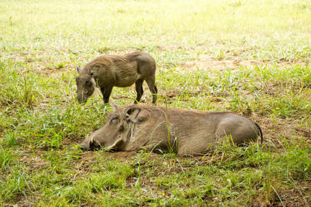 domesticated: Domesticated common warthogs, (Phacochoerus africanus) on lawn Stock Photo