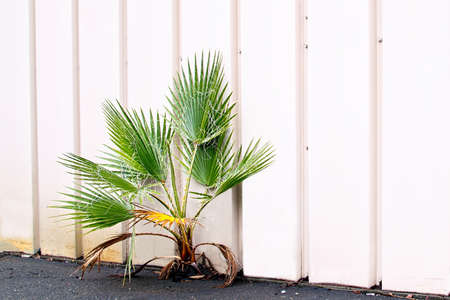 spite: Palm tree developing in a crack between warehouse steel wall and concrete pavement, illustrating the concept of resilience, thriving in spite of difficulties