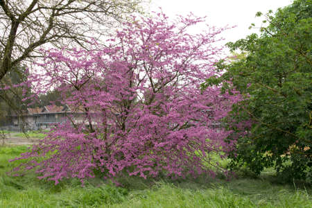 canadensis: Cercis canadensis (eastern redbud)  flowering in Davis, California. Stock Photo