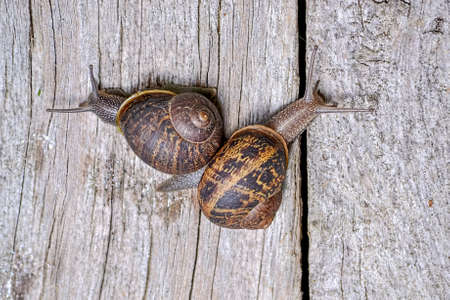 Closeup of common garden snails, Cornu aspersum, turning opposite directions on wooden fence, illustrating the concept of slowly growing appart Archivio Fotografico