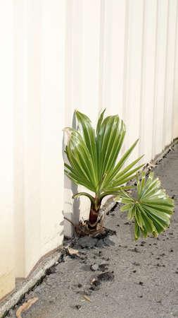 Palmboom ontwikkelen in een spleet tussen magazijn stalen wand en beton bestrating, het concept van veerkracht illustreren, bloeiende ondanks moeilijkheden Stockfoto