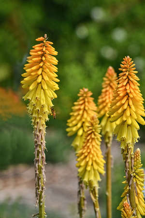 speedwell: Veronica First Love, Speedwell, flower, in nature in California