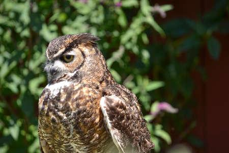 megascops: Head shot of Screech Owl, Megascops kennicottii, in front of a barn in California Stock Photo