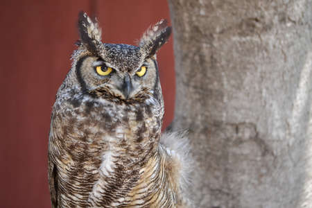 megascops: Headshot of Western Screech Owl, Megascops kennicottii, against red barn background