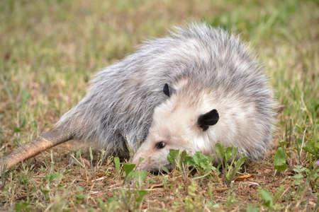 opossum: Virginia Opossum resting on grass in Fairfield, California, USA