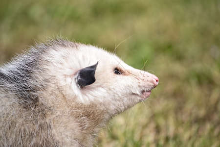 introduced: Head shot of a Virginia Opossum in nature in Fairfield, California, USA