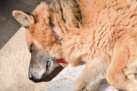 shepperd: Closeup on the head of an old, muddy german shepperd, deeply relaxed on the floor