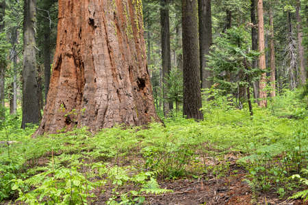 fur trees: Sequoia grove at Calaveras Big Trees State Park, California, USA, displaying a giant sequoia and other local pine and fur trees