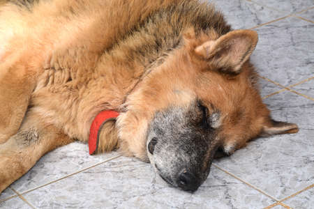 shepperd: Closeup on the head of an old and muddy german shepperd sleeping on the floor