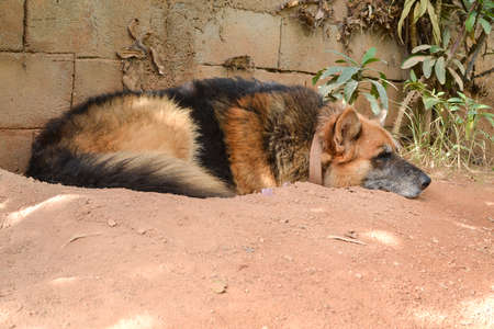 Old german shepherd resting in a ditch he dig for himself on the ground to cool down