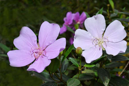 matures: A light pink flower of Tibouchina mutabilis (Manacá-da-serra), in nature. This flower blooms white and is intense pink when it matures.
