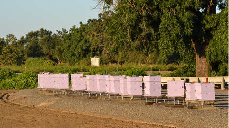 Row of beehives at the crack of dawn, with vines and trees in the background