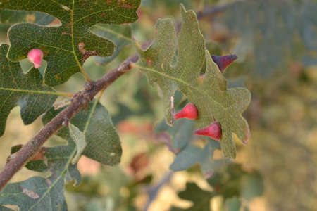 tumors: Red Cone Gall Wasp on oak caused by Andricus kingi in California