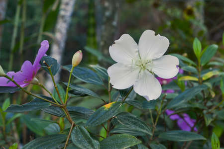matures: A white flower of Tibouchina mutabilis (Manacá-da-serra), in nature, showing signs of insect damage. This flower blooms white and is intense pink when it matures. Stock Photo