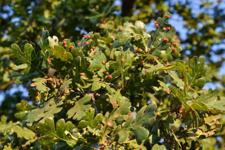 California Valley oak infested with Red Cone Gall Wasp, caused by Andricus kingi in California Stock Photo