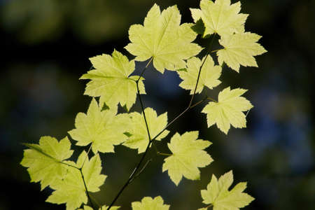 shinning: Sun light shinning through yellow sycamore leaves on dark background