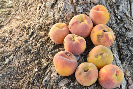 blemished: A group of blemished yellow peaches on tree roots on the ground