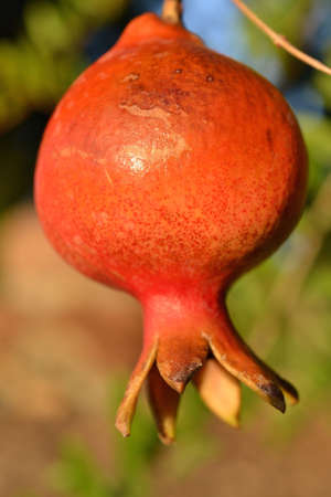 almost: Closeup on the side of a pomegranate on a tree, almost ready to be picked up