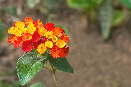 lantana: Selective focus on yellow and red Lantana covered with water drops, in garden