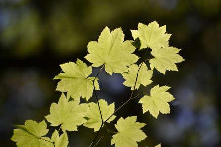 sicomoro: Sun light shinning through yellow sycamore leaves on dark background
