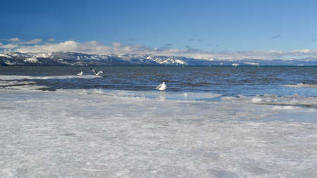 south lake tahoe: Waterfowl at the frozen waters of lake tahoe in the winter