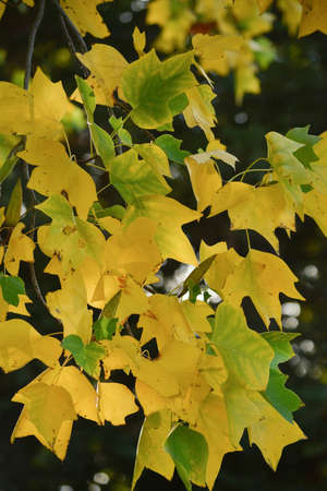 A branch of poplar, Populus sp, in nature in California, displaying a mix of golden yellow, brown and green leaves in the end of summer, signaling the beginning of the autumn, against dark background