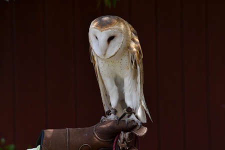 caretaker: Close up on a rescued barn owl, Tyto alba, held by a caretaker, against brown barn background, selective focus