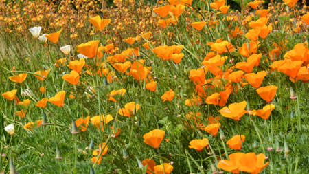 Field covered with California poppy, Eschscholzia californica , white and orange flowers, in nature in California Imagens - 64485282