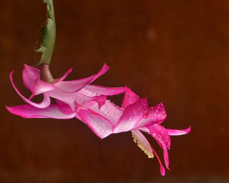 christmas cactus: Closeup on a May Flower  (Schlumbergera truncata) covered with water drops, against red background, lateral view and selective focus Stock Photo