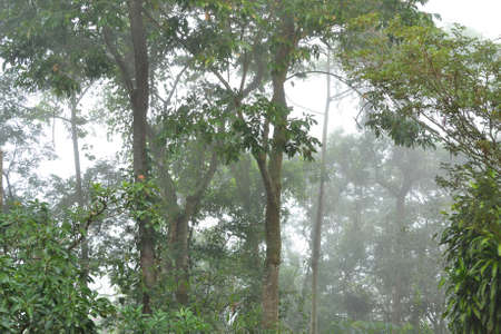 deforested: View of a secondary forest in the Atlantic forest on a misty, foggy day, Petropolis, Brazil