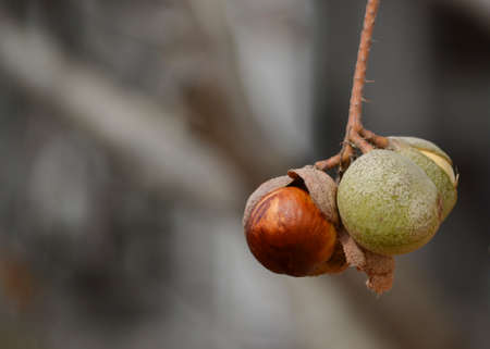 Closeup on the seeds of the California horse-chestnut (Aesculus californica) in nature in California, hanging from the tree. Native Americans used the poison of this seed to hunt and as alternative food supply after detoxification
