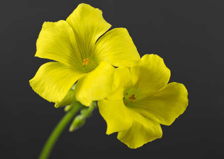Selective focus on yellow Oxalis flowers isolated on dark grey background