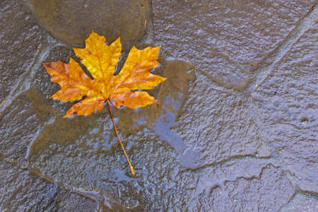 acer: A yellow leaf of  the bigleaf maple, Acer macrophyllum, on the pavement after rain in Oregon, USA. The leaf of this species of maple is the largest known. Abstract background- season concept