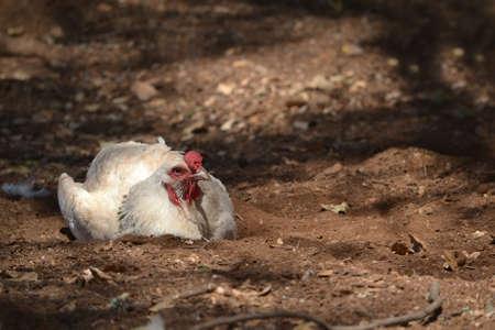 free range: White free range chicken roosting on the ground