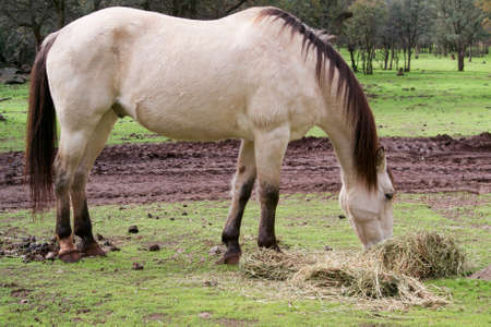 buckskin horse: Lateral view of a male buckskin American saddle horse eating grass outside in a field in Northern California, with ears pointed backwards