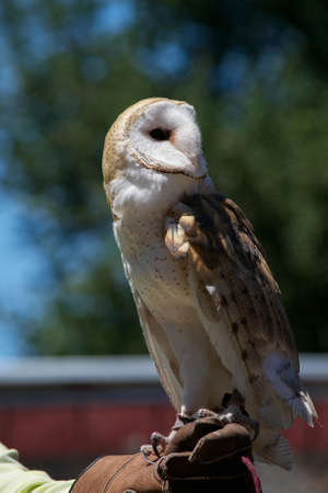 Profile of a rescued barn owl, Tyto alba, looking backwards, perched on the hand of its caretaker at a bird rescue center
